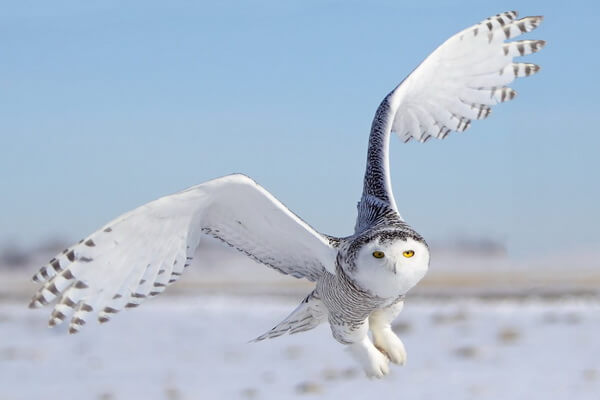 Белая (полярная) сова - внешний вид