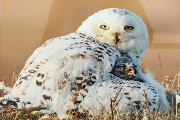 Размножение белых полярных сов и выведение потомства