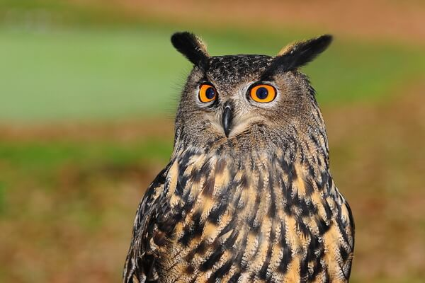 Отличие филина от совы и сыча