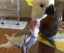 Попугай выщипывает перья: причины