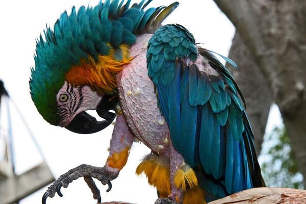 Стресс у попугая