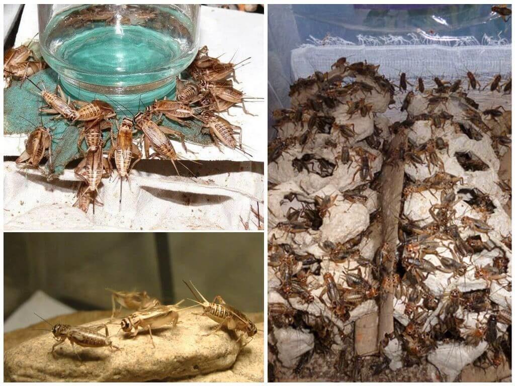 разведение кормовых насекомых