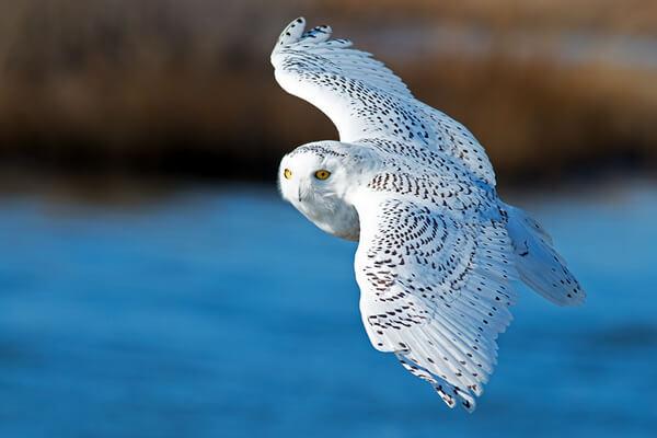 Виды сов - Белая или полярная сова