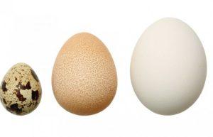Размер яиц в сравнении: перепелка, цесарка, курица.