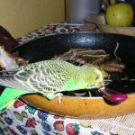 Тефлон – незаметный убийца для попугая