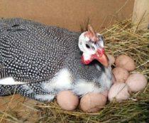Яйца цесарок: их влияние на человека, отличие от куриных.