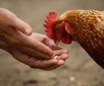 Чем кормить кур: состав рациона, норма и частота кормления