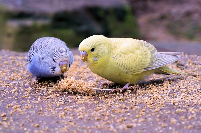 Сколько стоит волнистый попугай в зоомагазине