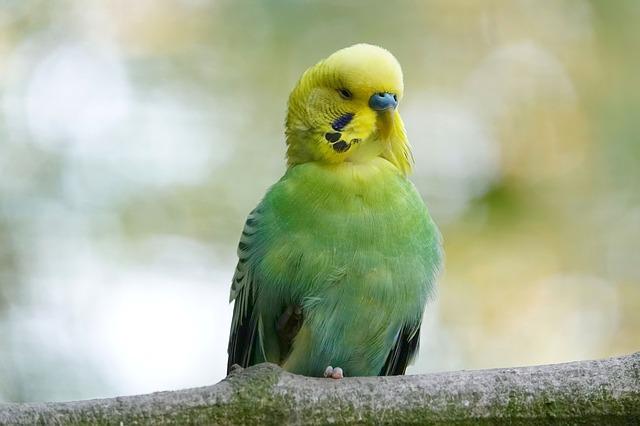 сколько стоит волнистый попугай в Москве,