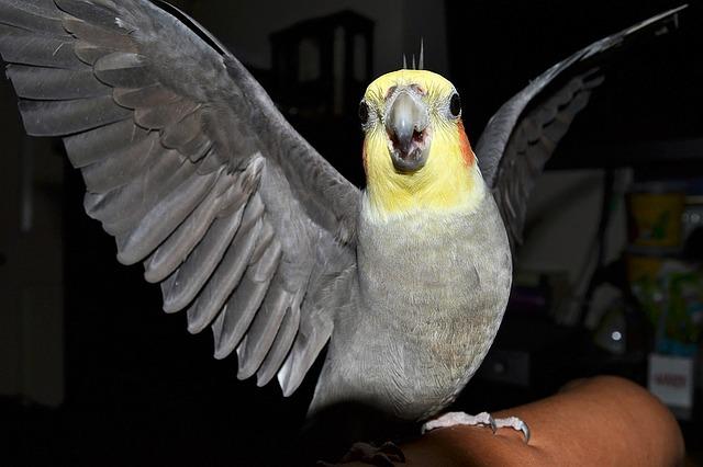 сколько стоит попугай корелла в зоомагазине