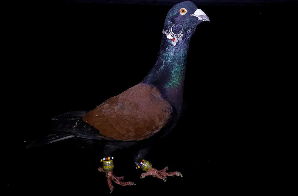 Дорогие породы голубей