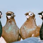 Цена на голубей в России