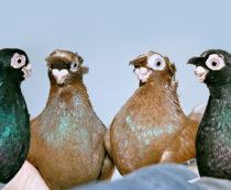 цена на голубей