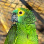 Где и за сколько можно купить попугая амазона