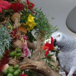 Гибискус в рационе попугаев