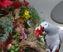 Гибискус в рационах попугаев