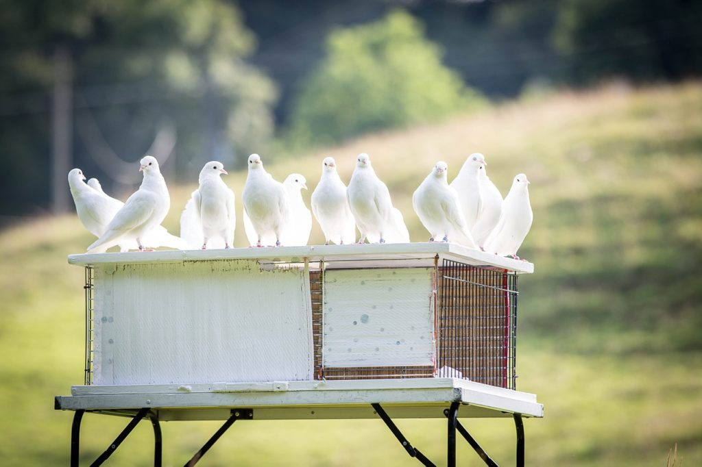 Бизнес на разведении голубей