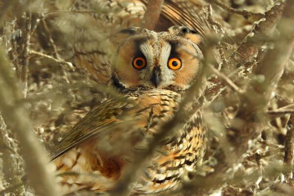 Описание совы