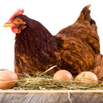 Сколько яиц подкладывать под курицу наседку?
