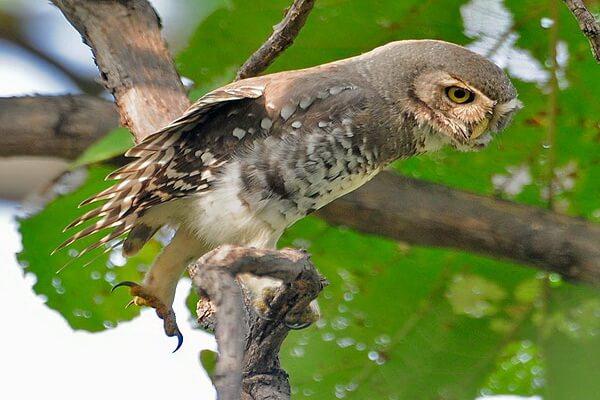 Лесной сыч - описание птицы