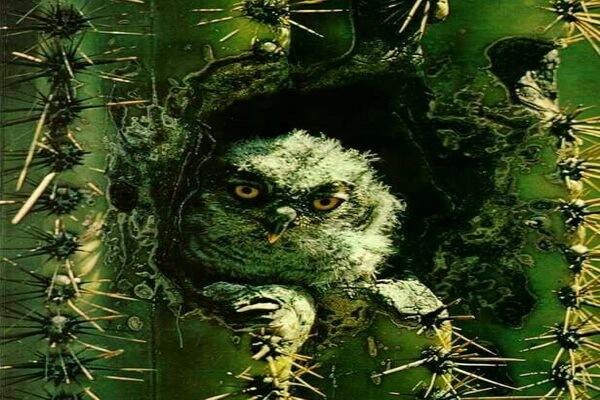 Фото птенца кактусового сыча
