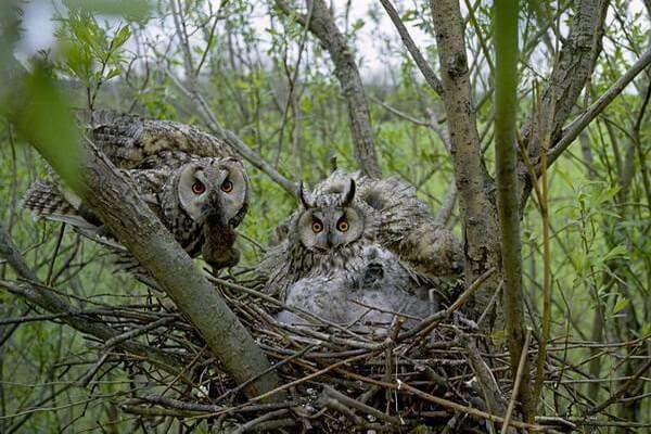 Птенцы ушастой совы