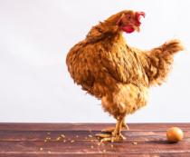 Цена на курицу несушку