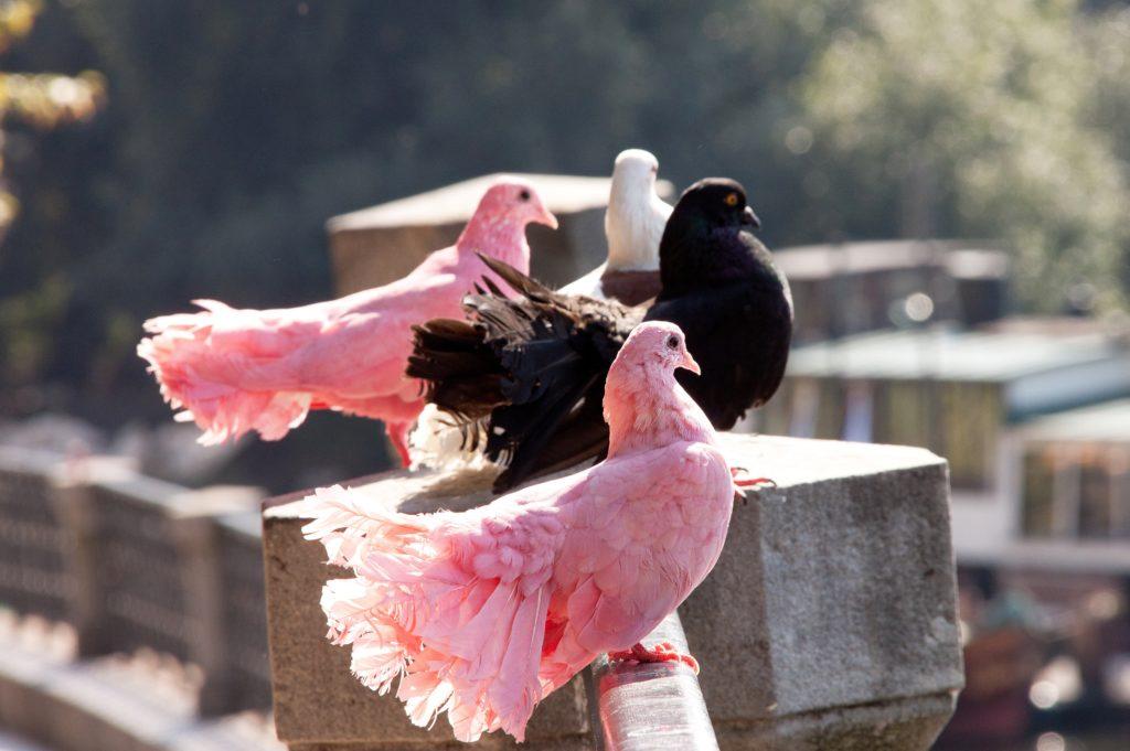 найти розового голубя