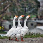 Цена гусей в России