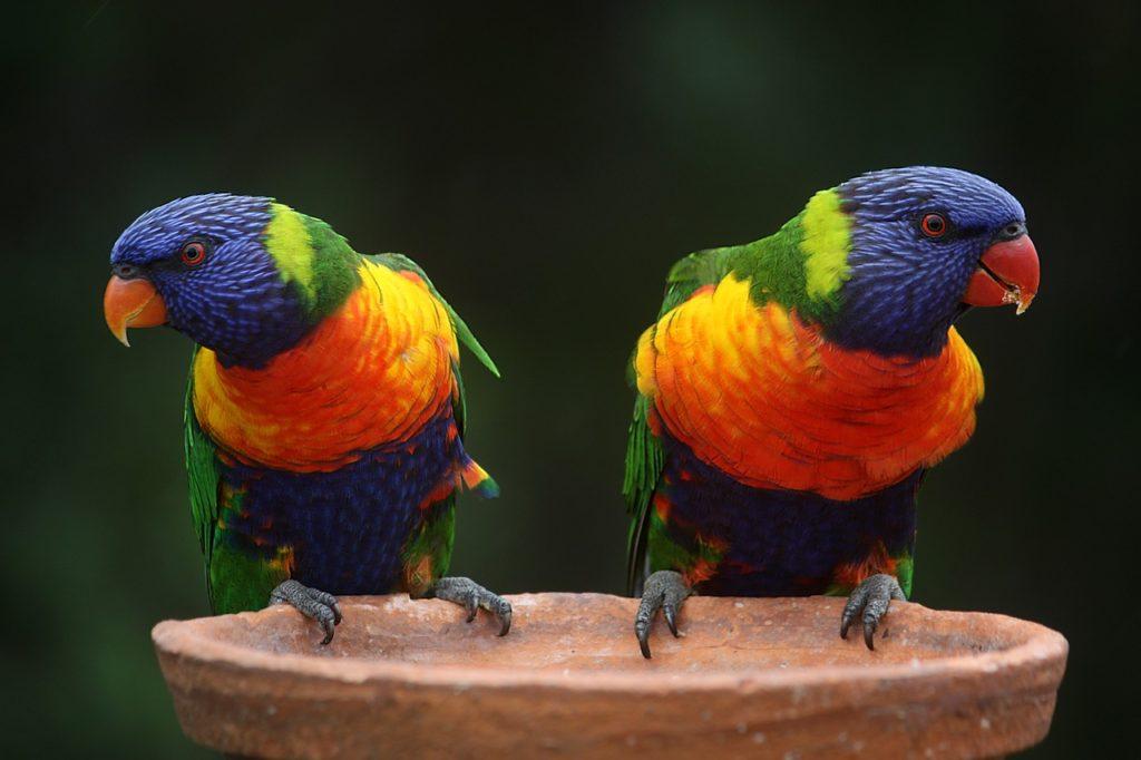 Разведение попугаев