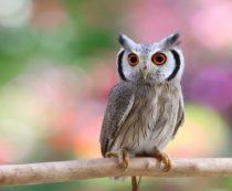 Птицы совки - фото и описание