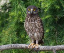 Иглоногая сова - фото и описание птицы