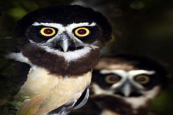 Неотропические совы - внешний вид взрослых особей