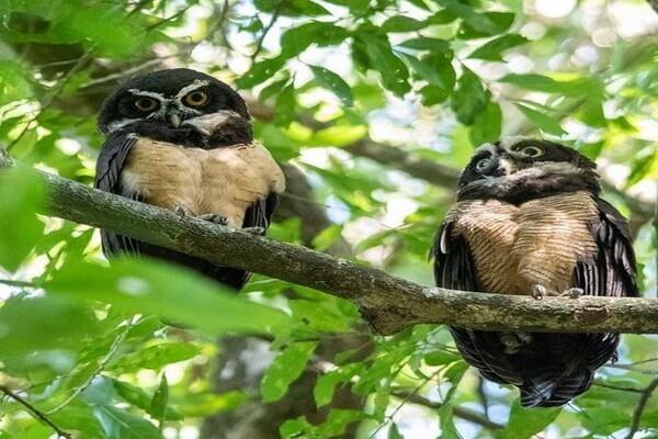 Размножение неотропических очковых сов
