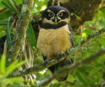 Неотропические совы