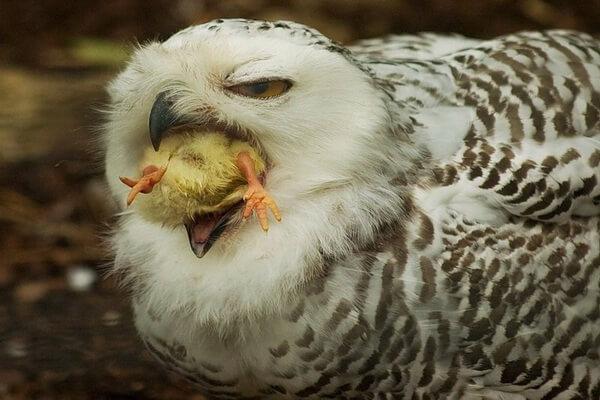 Как правильно кормить сову в домашних условиях