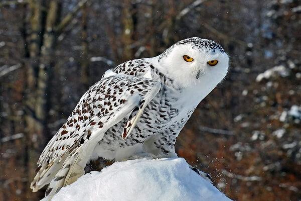 Какие совы есть в России - Белая или полярная сова