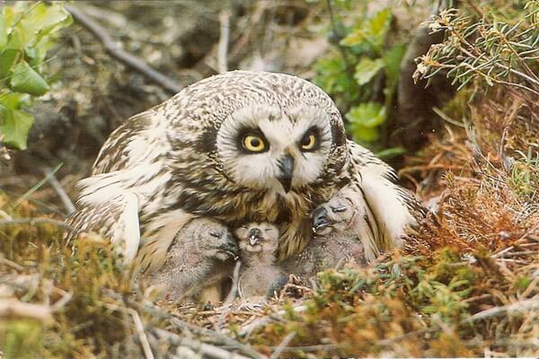 Виды сов, какие есть в России - Болотная сова