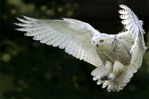 К чему снится белая сова - значения сна