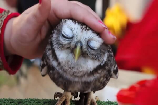 К чему снится гладить и приручать сову - значения сна
