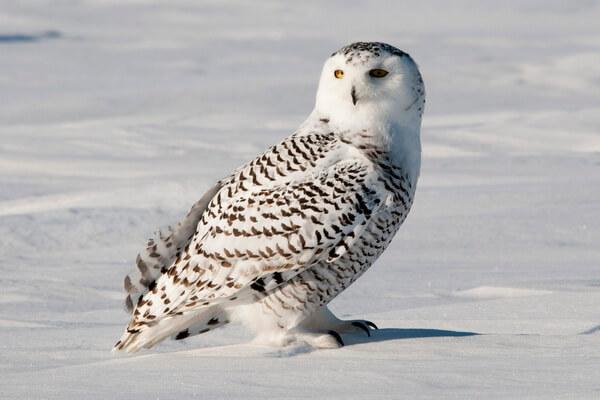 Самые красивые совы - Белая сова