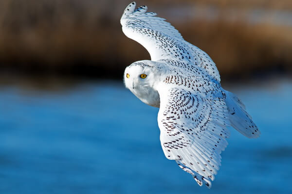 Самые красивые совы - Полярная сова