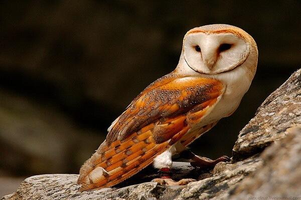 Самые красивые совы - Обыкновенная сипуха