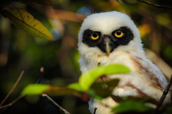 Самые красивые совы - Неотропическая сова (окрас молодой особи)