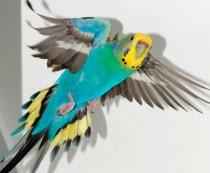 Волнистый попугай постоянно чешется