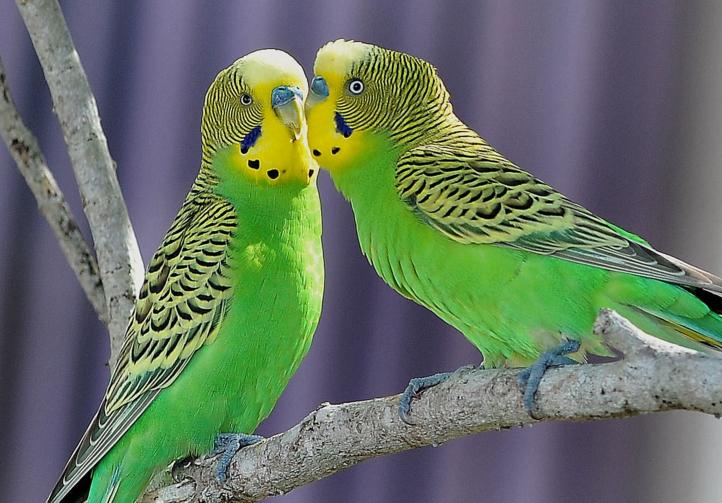 Картинки зеленых волнистых попугаев