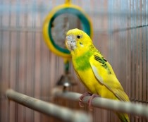 клещ у волнистого попугая