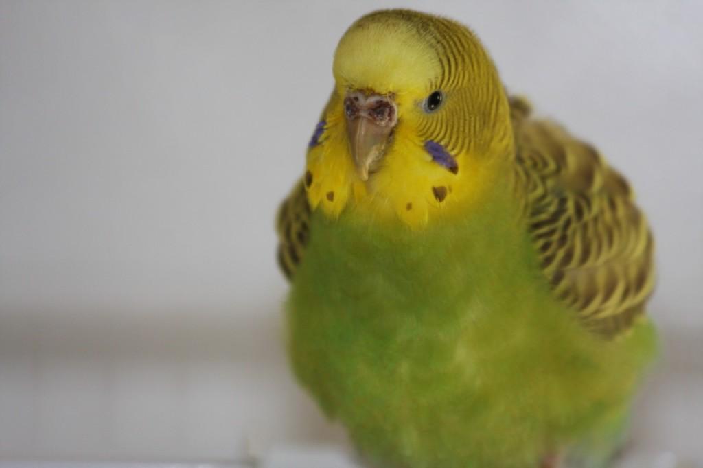 волнистый попугай клещи