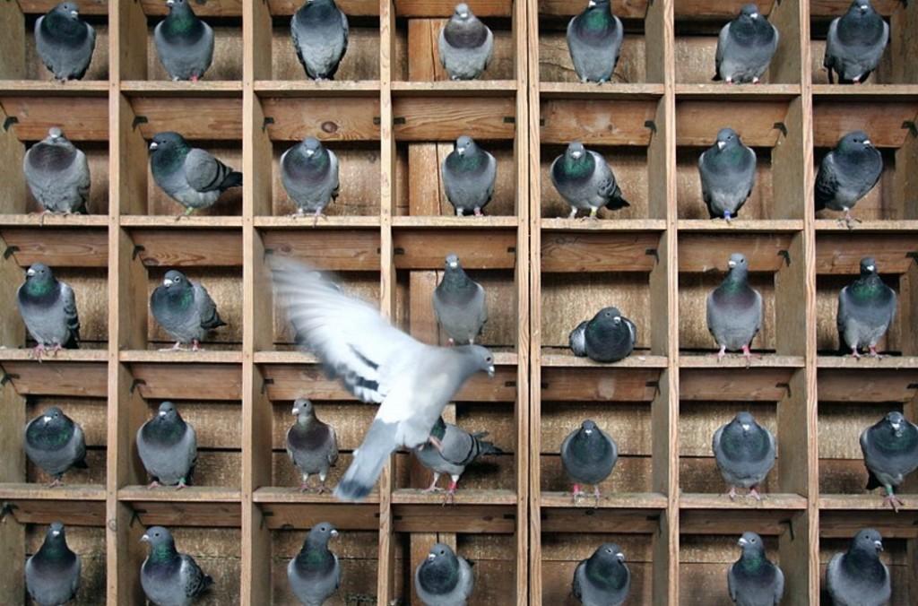 Питание голубей в квартире