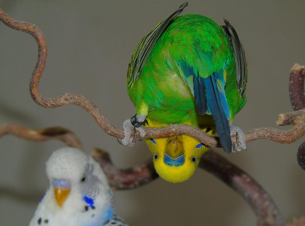 Прикольные картинки волнистые попугаи